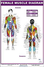 stretching - upper body (laminated), Muscles